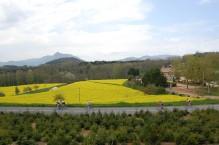 Camps de colza al costat del restaurant, amb vistes al Montseny